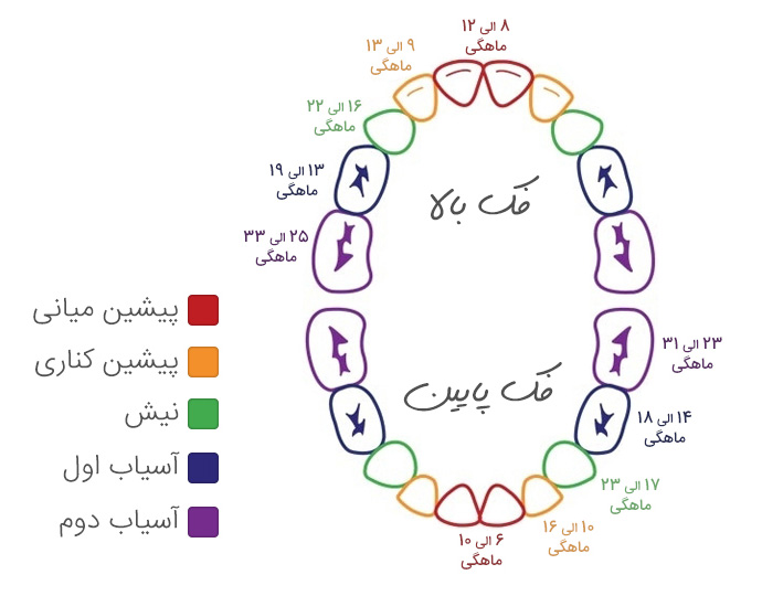 زمان و ترتیب رویش دندان های شیری